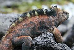 Beautiful marine iguana. A beautiful marine iguana perched on the volcanic rocks of the Galapagos islands stock photos