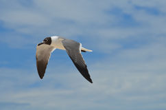 Beautiful Markings on a Flying Laughing Gull Bird Royalty Free Stock Images