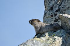 Beautiful marmot enjoying sun royalty free stock photography