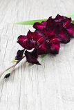 Beautiful maroon gladiolus Stock Photo