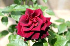 Beautiful maroon rose `Black Magic` Royalty Free Stock Images