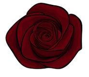 Beautiful maroon roses alone Royalty Free Stock Photography