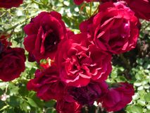 Beautiful maroon roses. Gorgeous rose Bush. stock photography