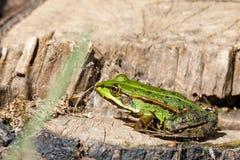 Beautiful marsh frog, European wildlife Stock Images