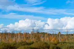 Beautiful marshland, withered tree trunks in the swamp stock images