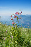 Beautiful martagon lily at monte baldo mountain Stock Images