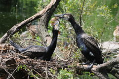 Cormorant. Beautiful mating cormorants by the lake Stock Images
