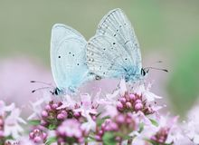 Blue butterfly mating pair. A beautiful mating pair of the blue butterfly of the genus Everes Cupido, order Lycaenidae. The couple is standing on purple flowers Stock Photo