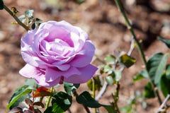 Beautiful mauve colored rose - Rosaceae Rosa Charles de Gaulle H. Ybrid Tea Rose - on bush in garden Stock Photos