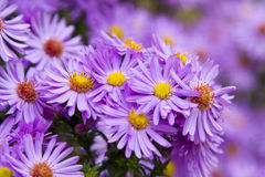 Beautiful mauve flowers. In garden Stock Images