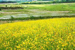 Beautiful meadow of buttercups Royalty Free Stock Image