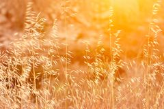 Beautiful Meadow Field with Dry Tender Plant Oats Golden Sun Flare Warm Light. Fall Summer Spring Tranquility Inspirational Copy Space Royalty Free Stock Image