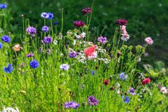 Beautiful meadow field with wild flowers. Spring or summer wildflowers closeup. Health care concept. Rural field. Alternative medicine. Environment royalty free stock images