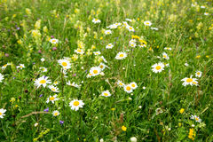 Beautiful meadow field with wild flowers. Spring Wildflowers closeup stock image