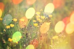 Beautiful meadow flower, buttercup flower in grass. Lit by sun light Royalty Free Stock Image