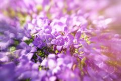 Beautiful meadow, flowering, blooming purple flowers, beautiful nature stock photography