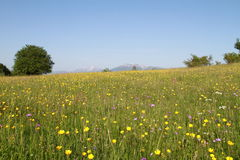 Beautiful meadow with flowers Royalty Free Stock Photos