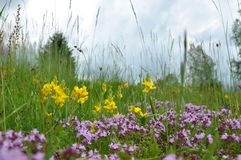 Mountain meadow. Beautiful meadow with flowers and grass Royalty Free Stock Images