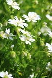 beautiful meadow flowers Royalty Free Stock Photography