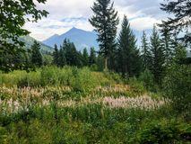 A beautiful meadow full of pretty wildflowers with fir trees and the rocky mountains in the background, in Mount Robson royalty free stock image