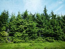 Fir trees. Beautiful meadow and mountain landscape Royalty Free Stock Image