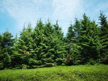 Fir trees. Beautiful meadow and mountain landscape Stock Photo