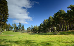 Beautiful meadow with a pine tree Royalty Free Stock Image