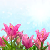 Beautiful meadow with pink lilies Stock Images