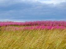 Beautiful meadow of pink wildflowers Royalty Free Stock Image