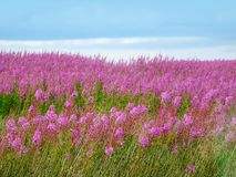 Beautiful meadow of pink wildflowers Royalty Free Stock Photo