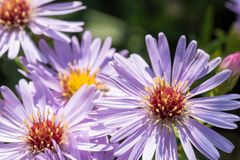Beautiful meadow purple flowers Royalty Free Stock Photography