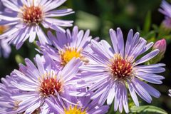 Beautiful meadow purple flowers Royalty Free Stock Photos