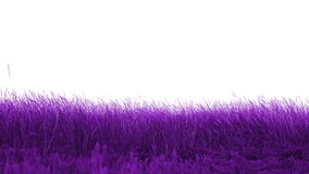 Beautiful meadow purple. With white background stock footage