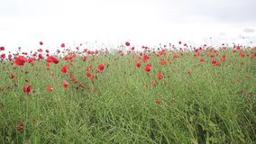 Beautiful meadow of red poppies, HD footage. Beautiful meadow of red poppies in the wind, HD footage stock video