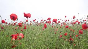 Beautiful meadow of red poppies, HD footage. Beautiful meadow of red poppies in the wind, HD footage stock video footage