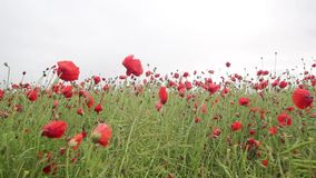Beautiful meadow of red poppies, HD footage. Beautiful meadow of red poppies in the wind, HD footage stock footage