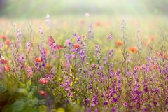 Beautiful meadow in spring - meadow flowers lit by sunlight. Beautiful meadow in spring - meadow flowers bathed in the spring sunlight Stock Photography
