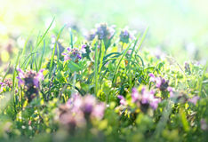 Beautiful meadow in spring - purple flower Royalty Free Stock Photo