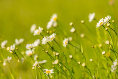 Beautiful meadow with wild daisy flowers on a spring day Royalty Free Stock Photo