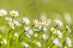 Beautiful meadow with wild daisy flowers on a spring day Royalty Free Stock Images