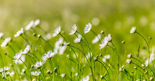 Beautiful meadow with wild daisy flowers on a spring day Stock Photography