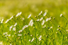 Beautiful meadow with wild daisy flowers on a spring day Royalty Free Stock Image