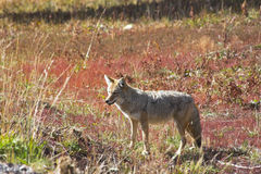 The beautiful meadow wolf royalty free stock photography