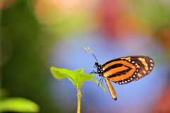 Beautiful Mechanitis butterfly on green leaf Royalty Free Stock Photos
