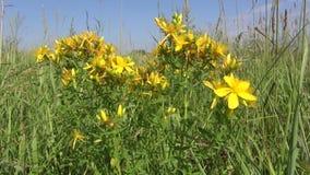 Beautiful medical herb St Johns wort flower tutsan in wind stock video footage
