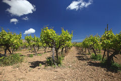 Beautiful Mediterranean vineyard against the blue sky. Spring Royalty Free Stock Photos