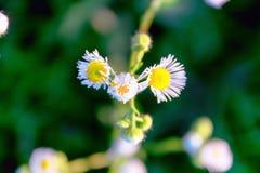 Beautiful medow flowers chamomile stock photography