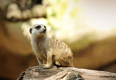 Beautiful Meerkat Stock Photos