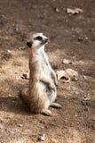 Beautiful meerkat Royalty Free Stock Images