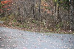 Beautiful meeting with fawn , Quebec Royalty Free Stock Photography
